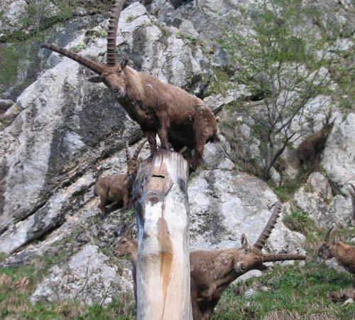 Alpine ibex No.2